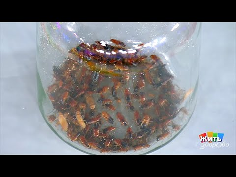 Тараканы в доме. Жить здорово! 31.05.2019