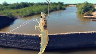 Pesca de ROBALO con CAMARON VIVO  - Pesca de ORILLA
