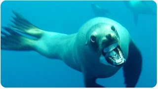 Sea Lion Charges Diver | Crazy Near Miss