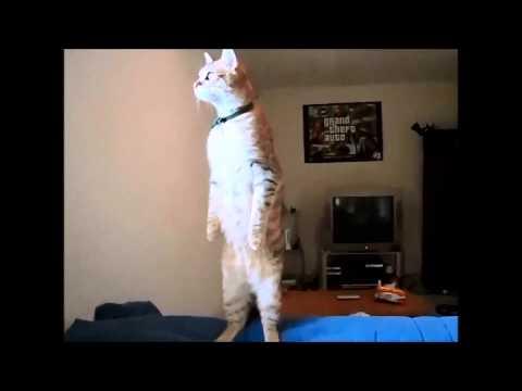 Кошка слушает гимн