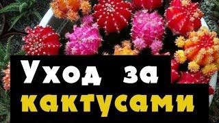 видео Уход в домашних условиях за кактусом гимнокалициум