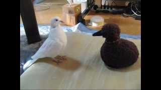 うちの銀鳩。アホウドリのヒナのぬいぐるみが大好き。