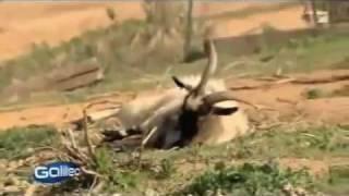 Upadające kozy- fainting goats
