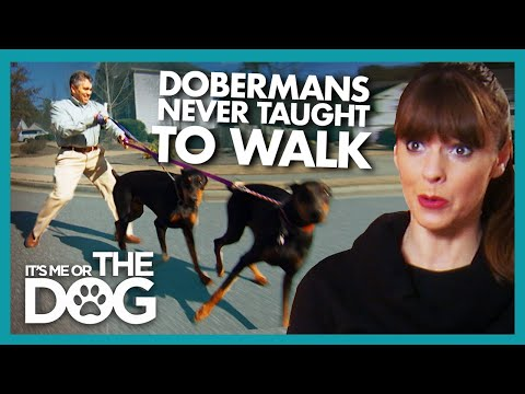Dobermans Who Never Learned How to go on Walks |  It's Me or The Dog