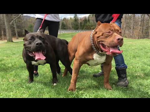 ManMade Kennels meets Dark Dynasty K9's Hulk Worlds Largest Pitbull; XL Pitbull Puppies
