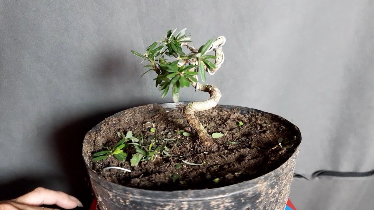 Bonsai siêu mini quái, uốn cây bonsai linh sam quái đơn giản cho người mới tập chơi.
