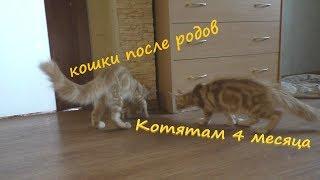 как кошки выглядят после беременности, наши котята