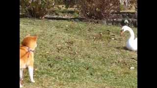 ちょっぴり腰が引けてる柴犬です。 大体が大人しい犬なので吠えたり襲っ...