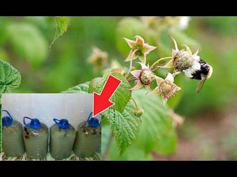 Подкормите этим малину в июне в период цветения для супер урожая! Чем подкормить малину?