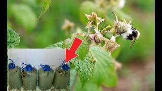 Download Подкормите этим малину в июне в период цветения для супер урожая! Чем подкормить малину? Mp3 and Videos