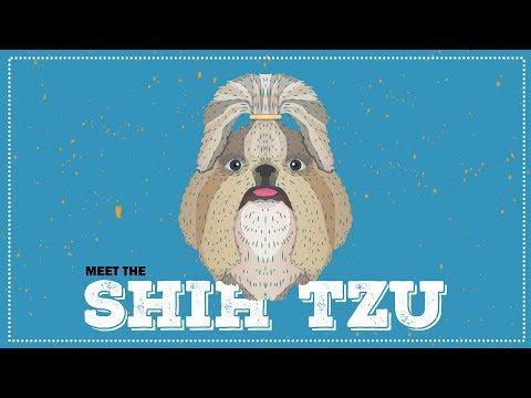 Shih Tzu | Breed Profile