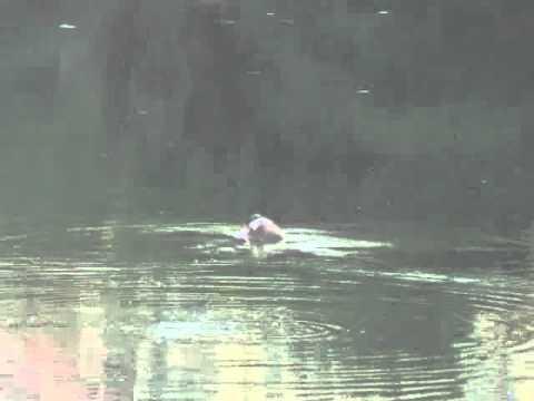 Video Cụ Rùa nổi sáng ngày 21 tháng 11 năm 2010 tại hồ Hoàn Kiếm