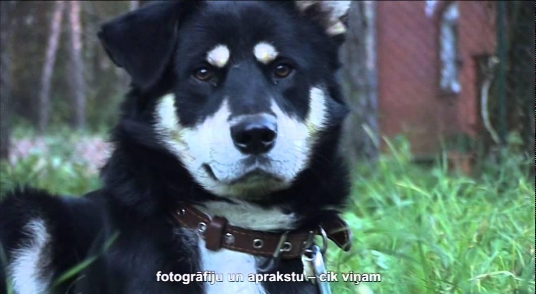 Активный и непоседливый пес дворянских кровей по кличке Чарли