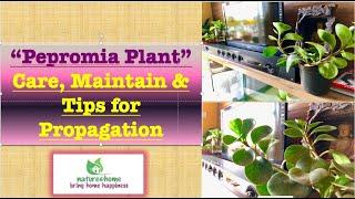 Peperomia Plant 🌱 Care & Propagation Tips.