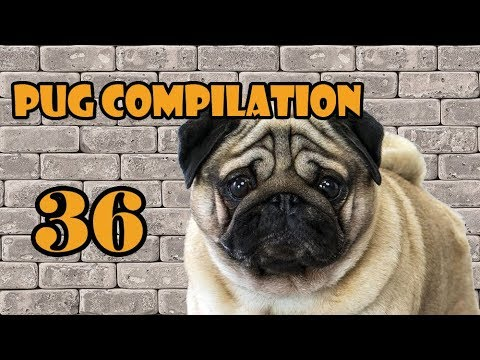 Pug Compilation 36 - Funny Dogs but only Pug Videos NEW | Instapugs