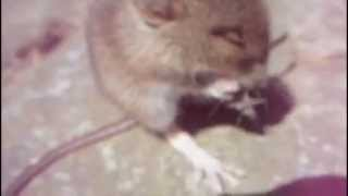 Baby Wood Mouse Falling over - cute!