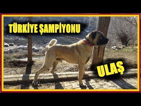 AMERİKALILARIN  ALAMADIĞI ŞAMPİYON KANGAL ULAŞ  (ARPACI MUSTAFA)  (Kangal Dog Champion Of Turkey)