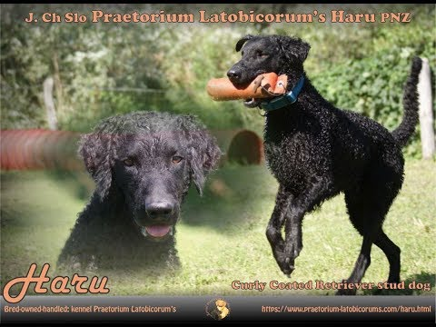 Curly Coated Retriever PLs Haru
