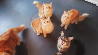 Maine coon cats meowing loud for food♡