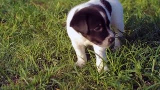Baby Boxer Lab Shares His Toys | The Daily Puppy