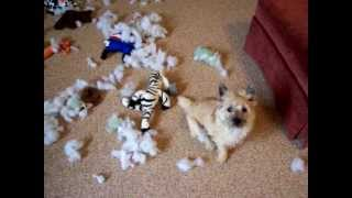 Toy Murder & Mayhem By Kinsey - Cairn Terrier Puppy
