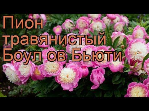 Пион травянистый Боул ов Бьюти (paeonia) 🌿 обзор: как сажать, рассада пиона Боул ов Бьюти