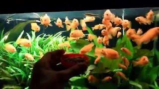 Feeding fish Tetra Cichlid Sticks XL (Кормление цихлид)(Кормление рыб тетровским кормом. Корм хорошо едят рыбы, воду мало мутит, и остатки не забивают фильтр. ..., 2016-01-04T22:08:10.000Z)