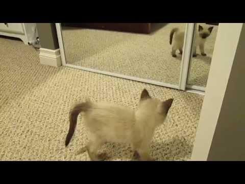 Ragdoll Siamese Kitten and Mirror