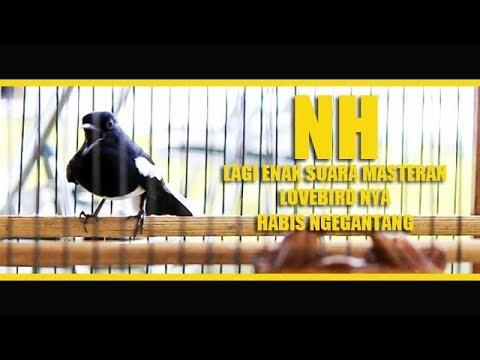 Video Kacer NAGA HITAM Lagi Enak Masteran LoveBirdnya Habis NgeGantang