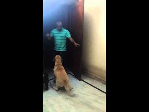 5 year old labrador meets his owner after a year