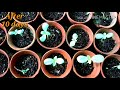 How you should grow SYNGENTA MEGALLAN ZINNIAS from Seeds