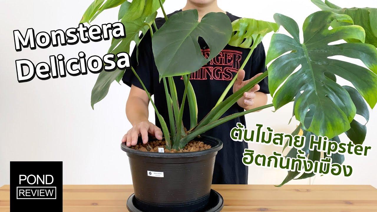 ต้นไม้ที่ทุกร้านกาแฟต้องมี! รีวิว Monstera Deliciosa - Pond Review