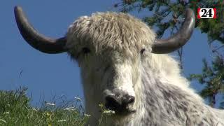 Gambar cover Le yak, une invitation au voyage intérieur