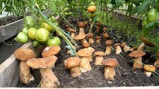 Как вырастить много белых грибов на своем участке (результат)