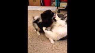 Pomeranian Puppy Giving An Ear Cleaning Session To His Bestie