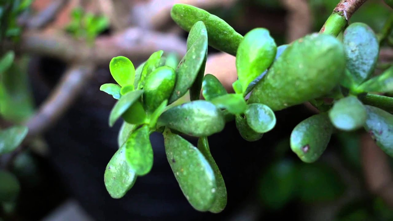The jade plant a great low maintenance plant for your for Low maintenance potted plants