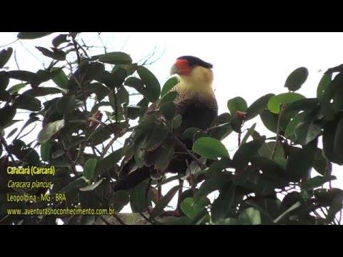 Carcará (Caracara plancus) - AVES - BIOLOGIA