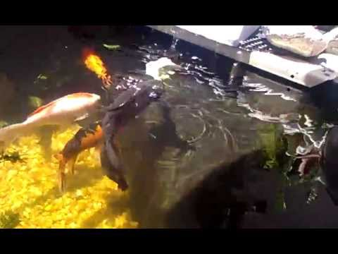 Pure black butterfly koi fish youtube for All black koi fish