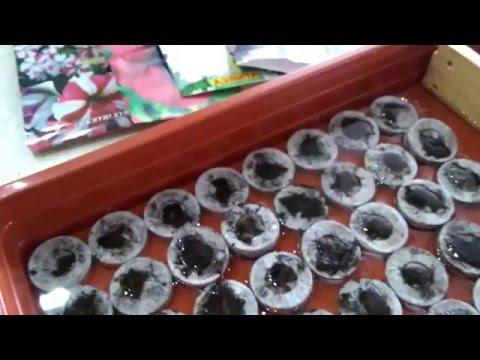 Посев петунии в торфяные таблетки.