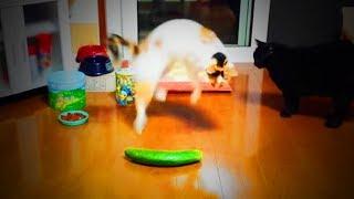 Cats And Cucumber 😹🥒 Crazy Cats Vs Cucumber (Full) [Funny Pets]