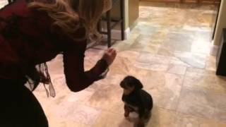 Rottweiler Puppy Training 7 Weeks