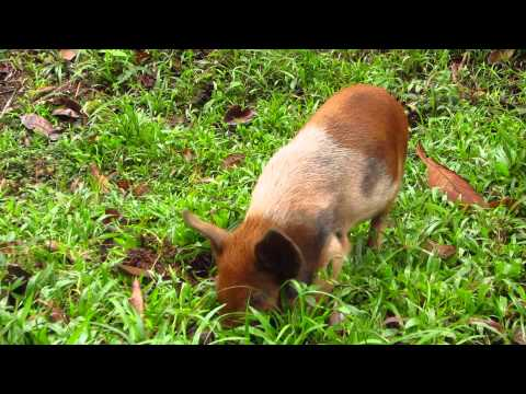 Cuba - Alejandro de Humboldt National Park - Young pig - November 28, 2014