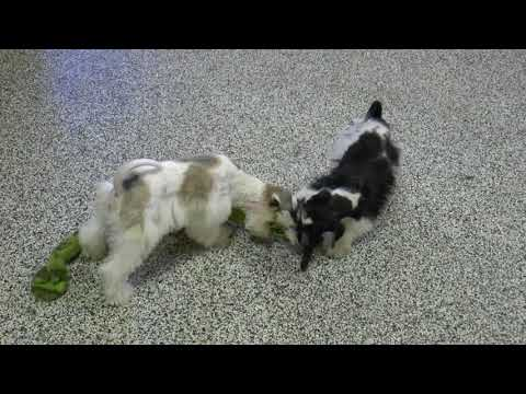 No Shed, Mega-Coated Miniature Schnauzer Puppies for Sale