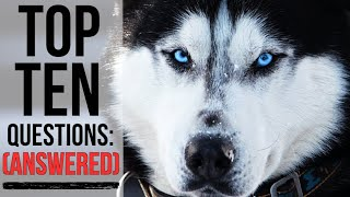 10 Most Asked Questions About Siberian Huskies ANSWERED!