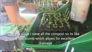 Lupin Seedlings pricking out, Potting on, Caring Help and growing on.