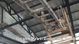 Zippo Dutch Shepherd Agility