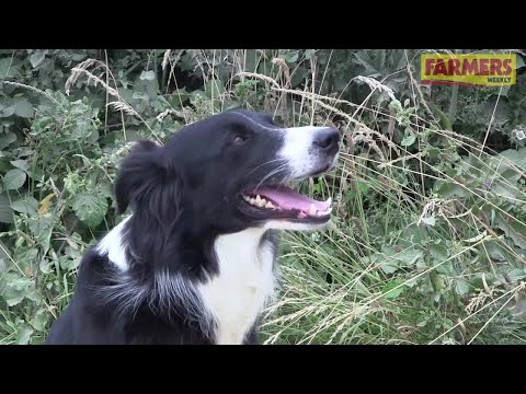How to train a sheepdog and pick the best breed