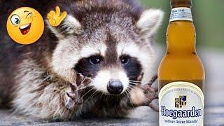 Енот жжет! Домашний, но пьяный и смешной енот зашел к кошкам на пиво и стал учить как полоскать еду!