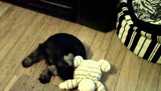 Schnauzer Puppy Chasing His Tail