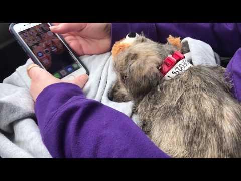 Beagle, Schnauzer, Poodle, Dachshund Rescue Puppy!!